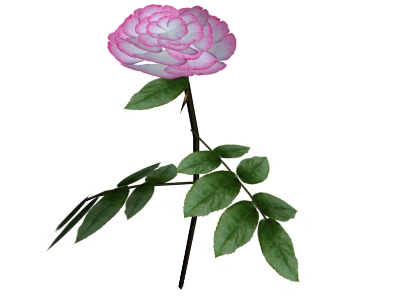 pink rose plant 3d model