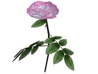 rose.max