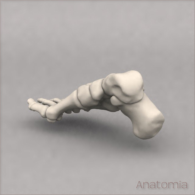 3d male human foot skeleton model