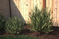 maya renderings ready shrub -