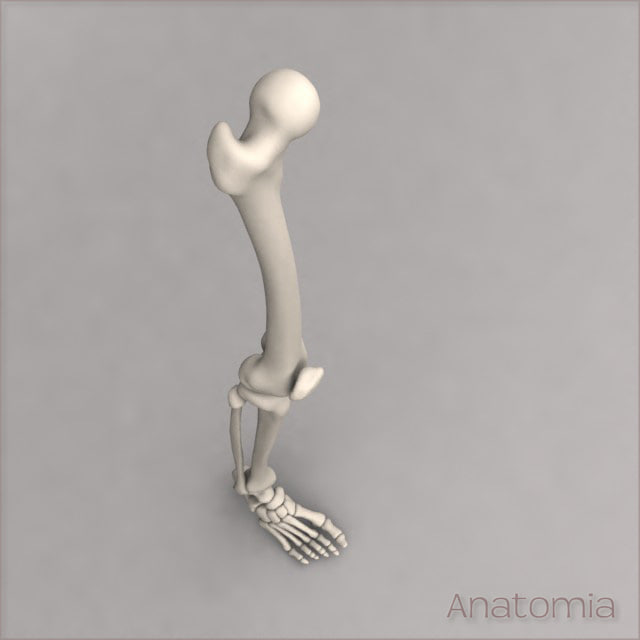 max male human leg skeleton bone