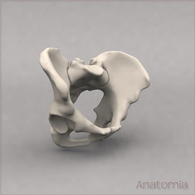 maya human pelvis skeleton