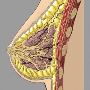 3dsmax breast anatomy