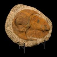 3d model big trilobite