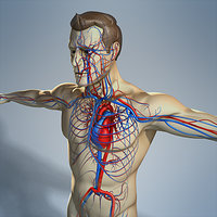 Circulatory System and Male Body (No Textures)