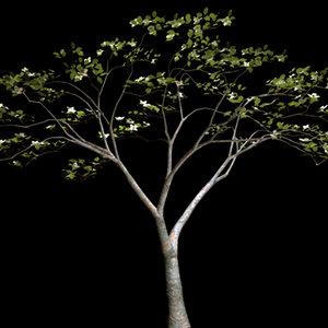 white dogwood tree obj