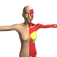 Female anatomy Skin-Muscles-Skeleton