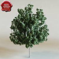 maackia amurensis starburst 3d model
