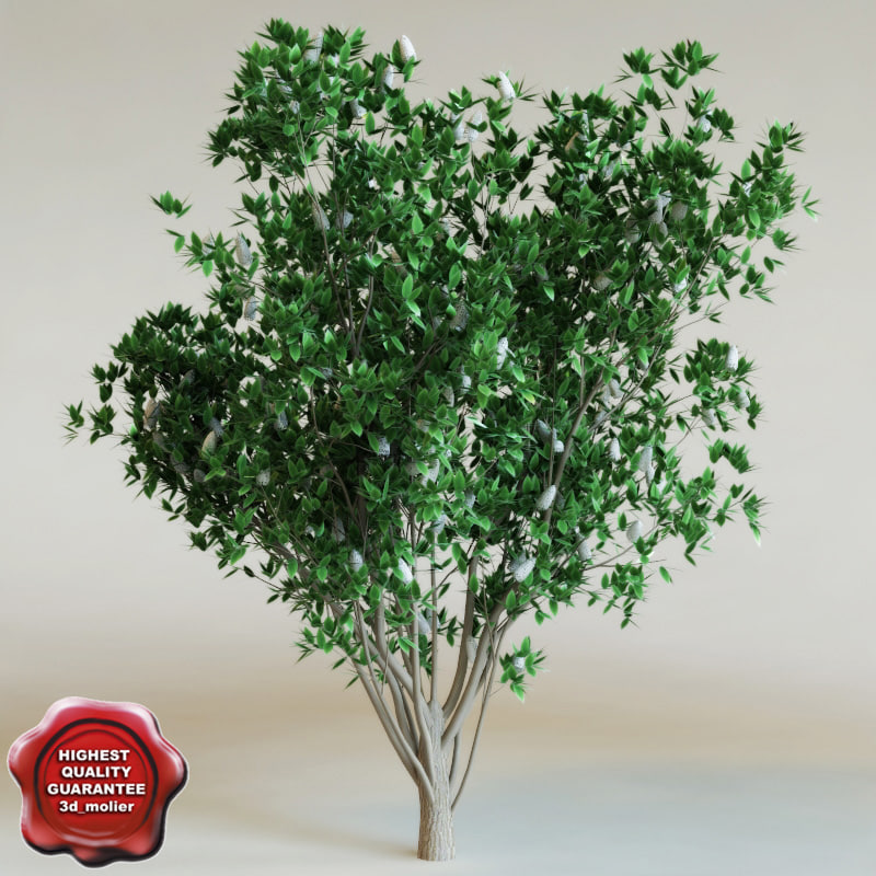 3d model of syringa reticulata ivory silk