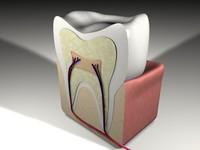 scientific tooth 3d c4d