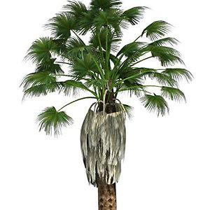 fan palm 3d model