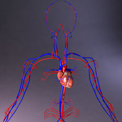 3d circulatory heart model