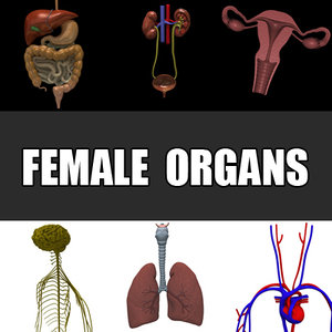 3d female organs liver pancreas