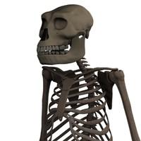 australopithecus afarensis skeleton 3d model