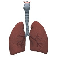 human lungs bronchus 3d model