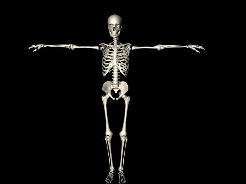 3d skeleton model