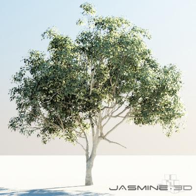 3d tree pimienta dioica model