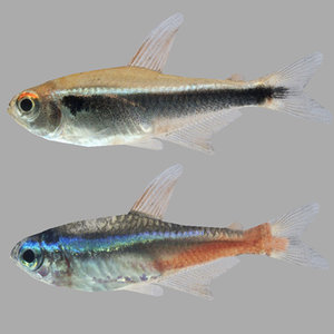 3d fishes neon tetra model