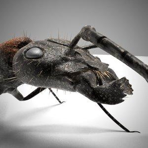 lwo black ant