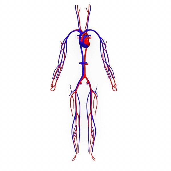 human circulatory vein heart max