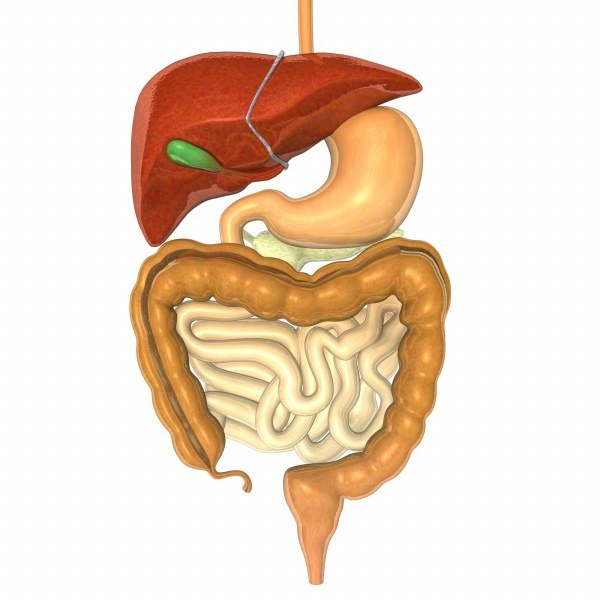 digestive esophagus liver stomach max