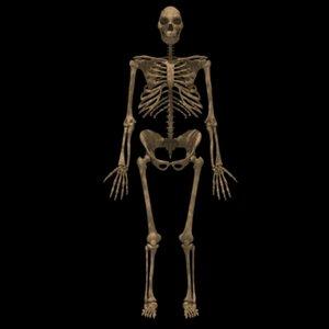 max homo erectus