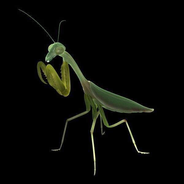maya praying mantis