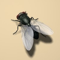 insect fly ma