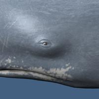 sperm whale 3d ma
