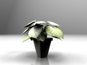 maya small potted plant