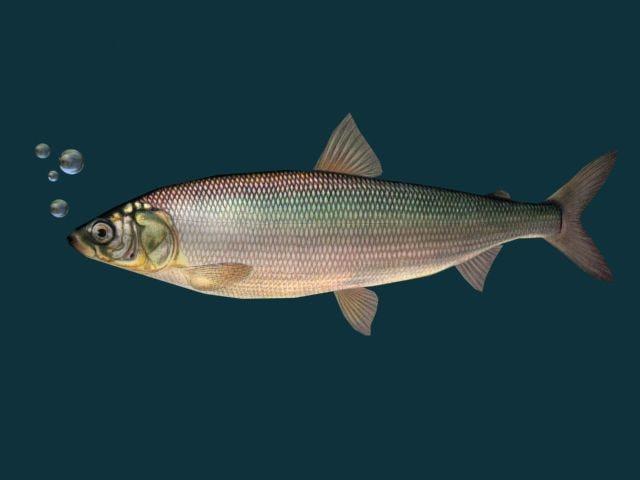 3ds max fish herring