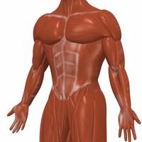 3d muscular male muscles