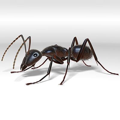 3d ant carpenter camponotus model