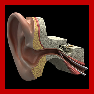 3d inner ear section model