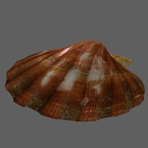 maya scallop shell