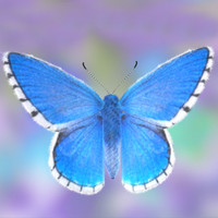 Fur! Adonis Blue Butterfly with Maya Fur!