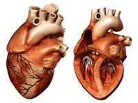 3d heart opened closed