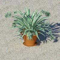 Chlorophytum comusum