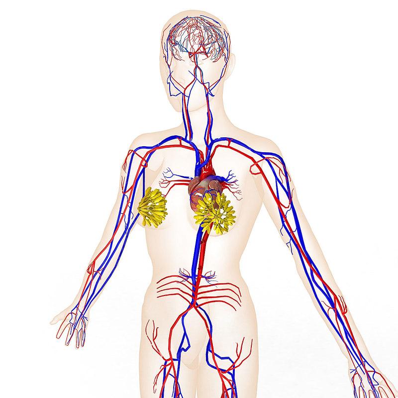 3d female circulatory mammary gland model
