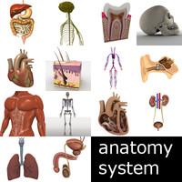 3d model organ male heart lungs