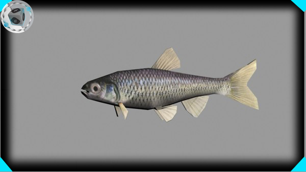 3d shinner minnow