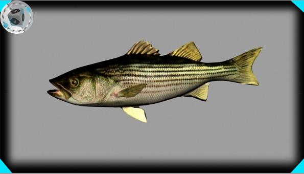 striped bass 3d model