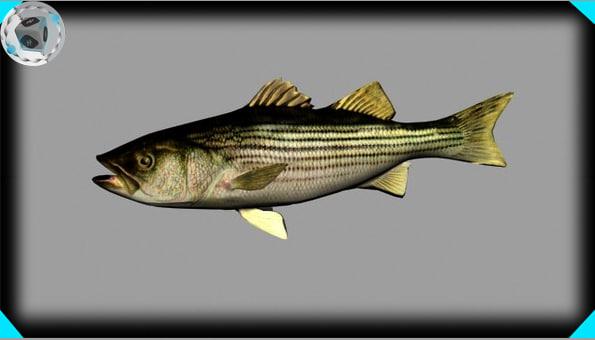 Striped bass 3d model for Bass fishing 3d
