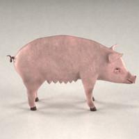 3d model female pig