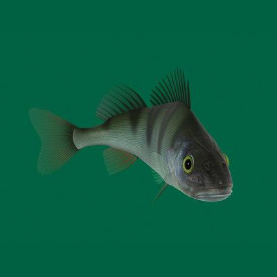 perch fish 3d model