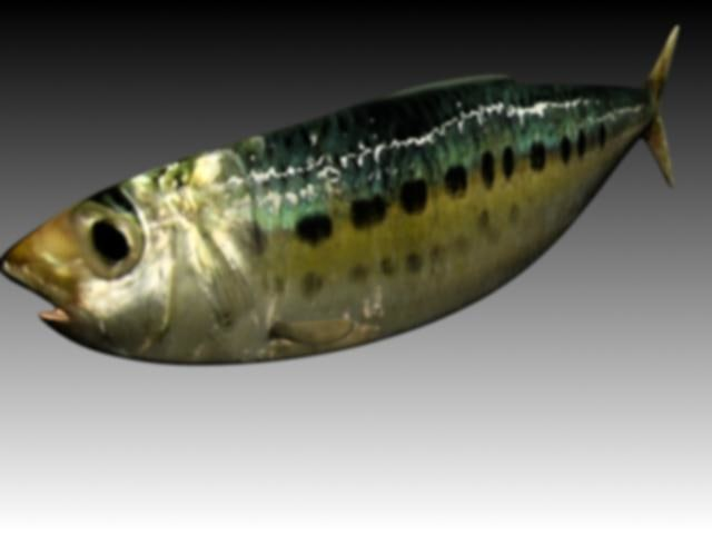 3d sardine animation