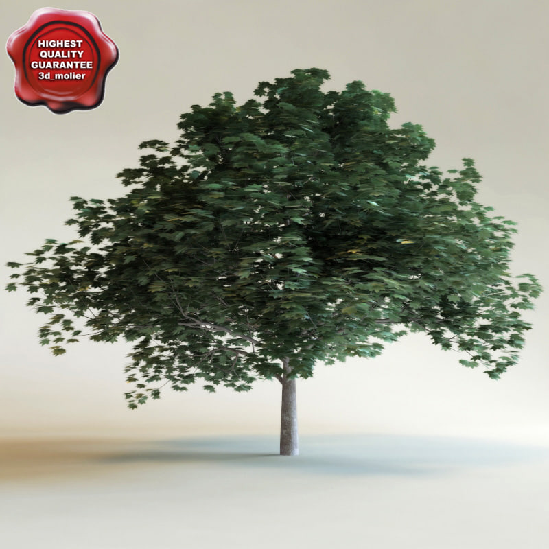 3ds max acer macrophylla