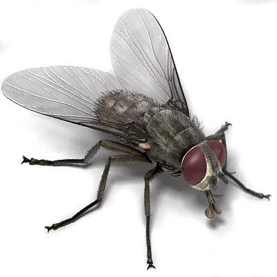 maya house fly