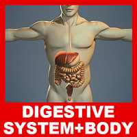 Digestive System and Male Human Body (No Textures)