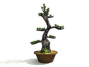 ma japanese bonsai tree